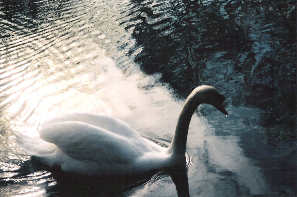swan-in-central-park