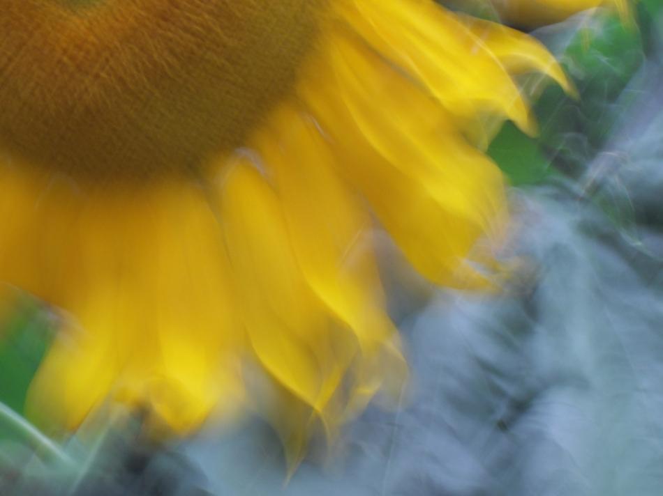 sunflower fringe